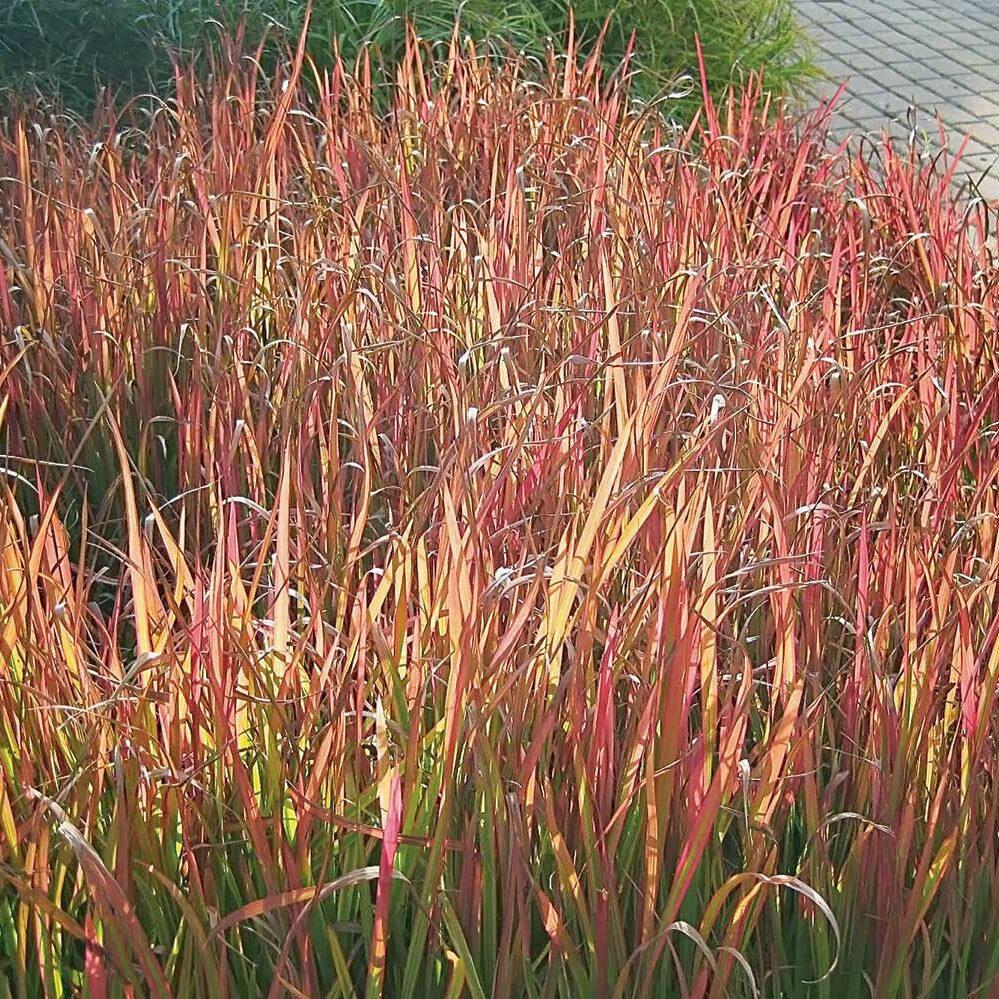 Andropogon gerardii -Red October-