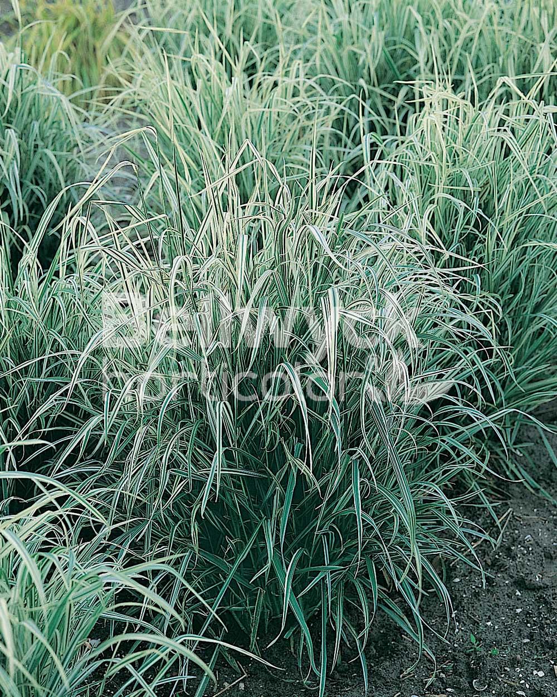 Arrhenatherum bulbosum -Variegatum-