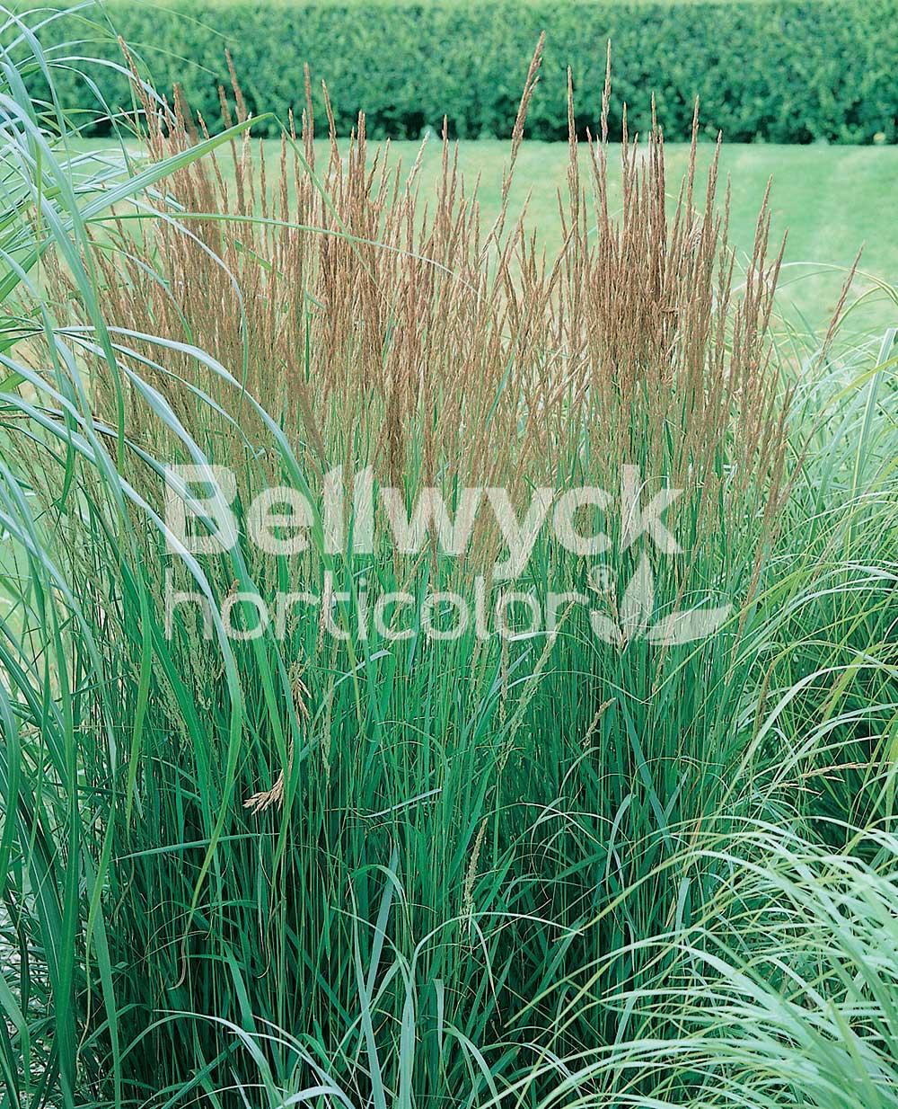 Calamagrostis stricta