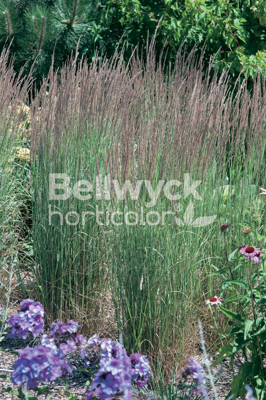 Calamagrostis x acutiflora -Avalanche-