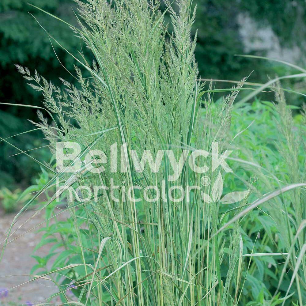Calamagrostis x acutiflora -Eldorado-