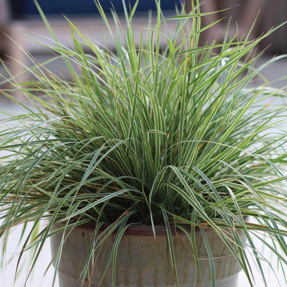 Calamagrostis x acutiflora -Hello Spring-