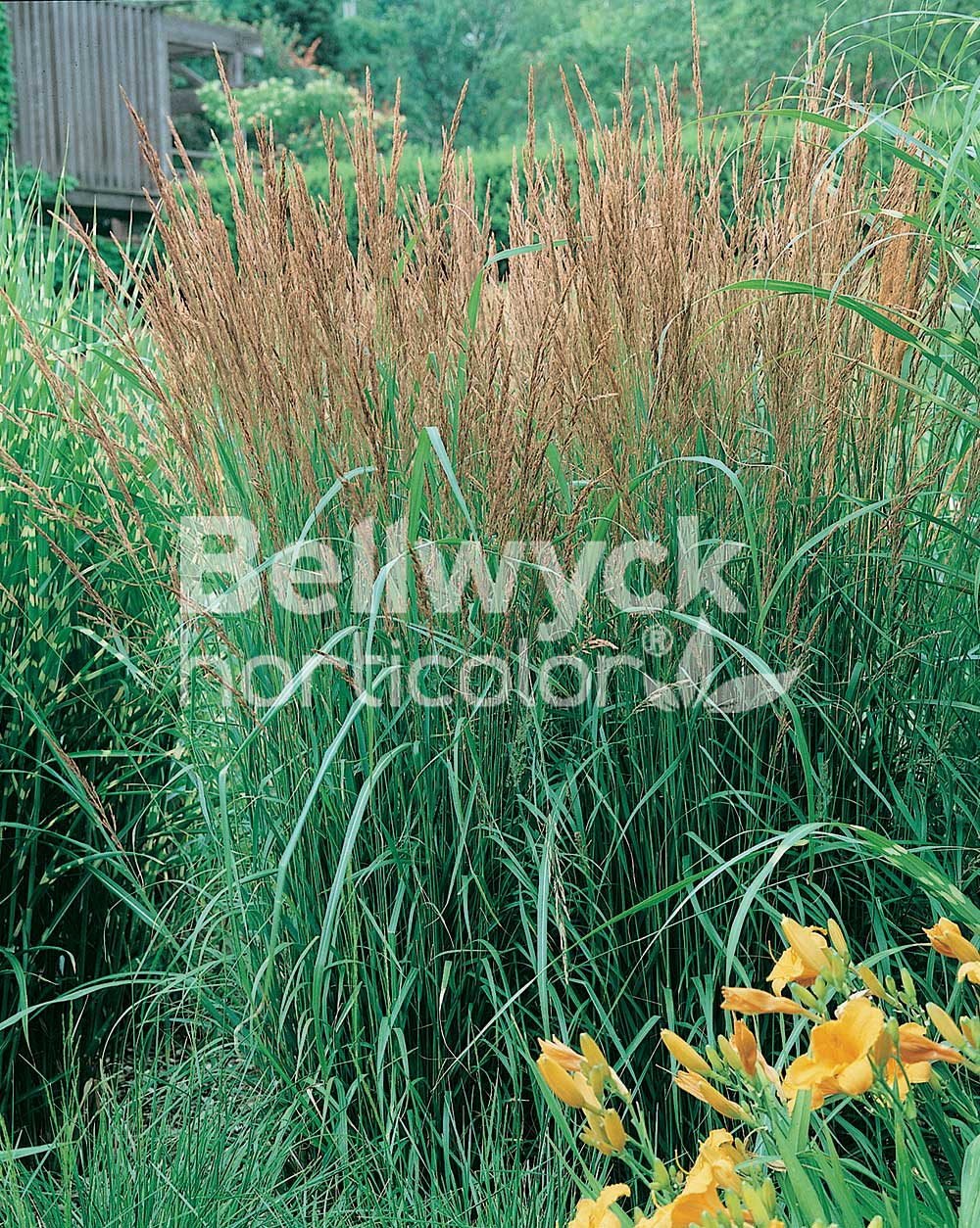 Calamagrostis x acutiflora -Karl Foerster-