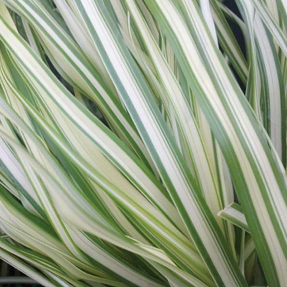 Calamagrostis x acutiflora -Lightning Strike-