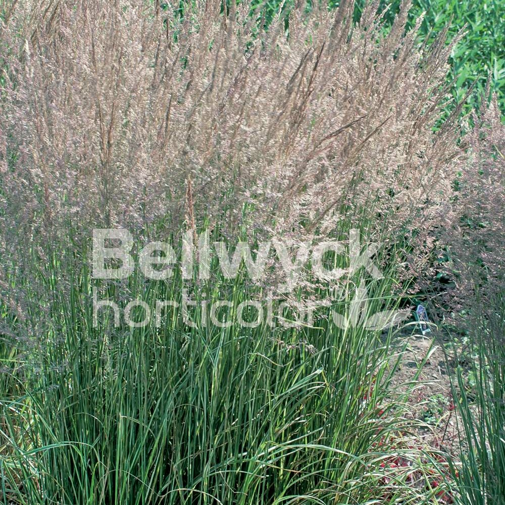 Calamagrostis x acutiflora -Overdam-