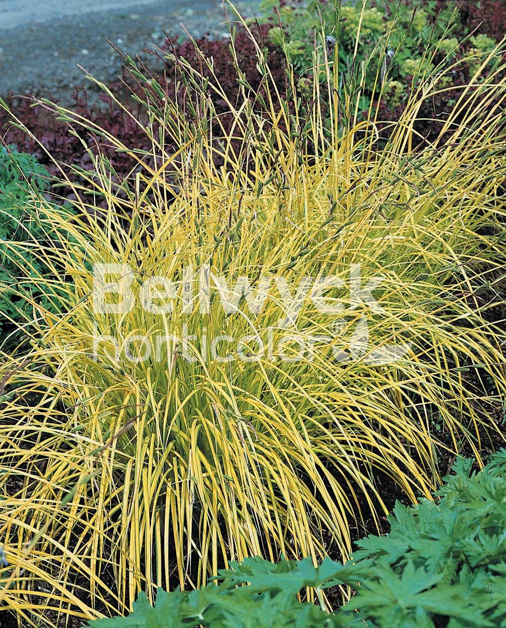 Carex dolichostachya -Kaga Nishiki-