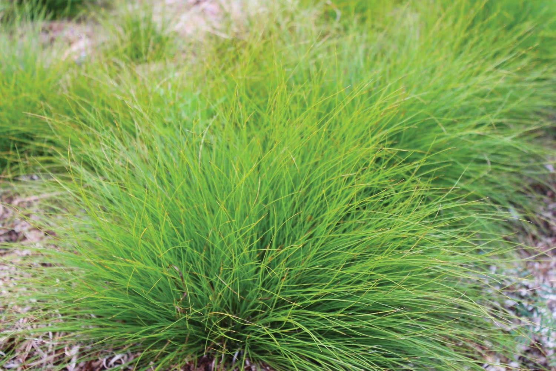 Carex eburnea