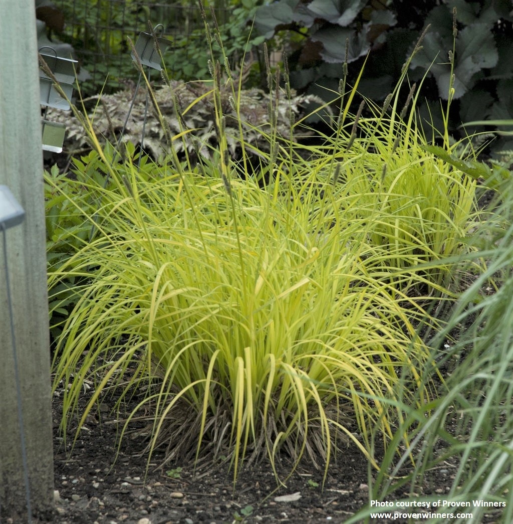 Carex elata -Aurea-
