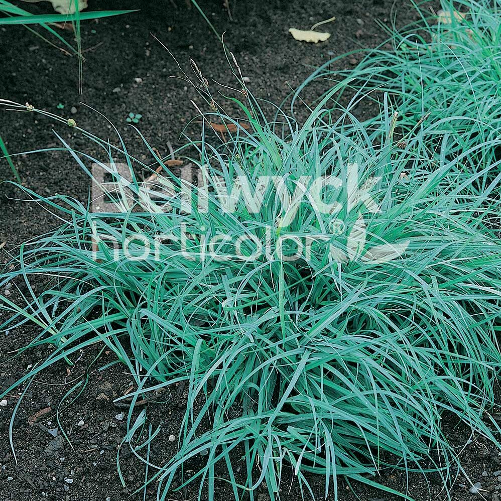 Carex glauca -Blue Zinger-