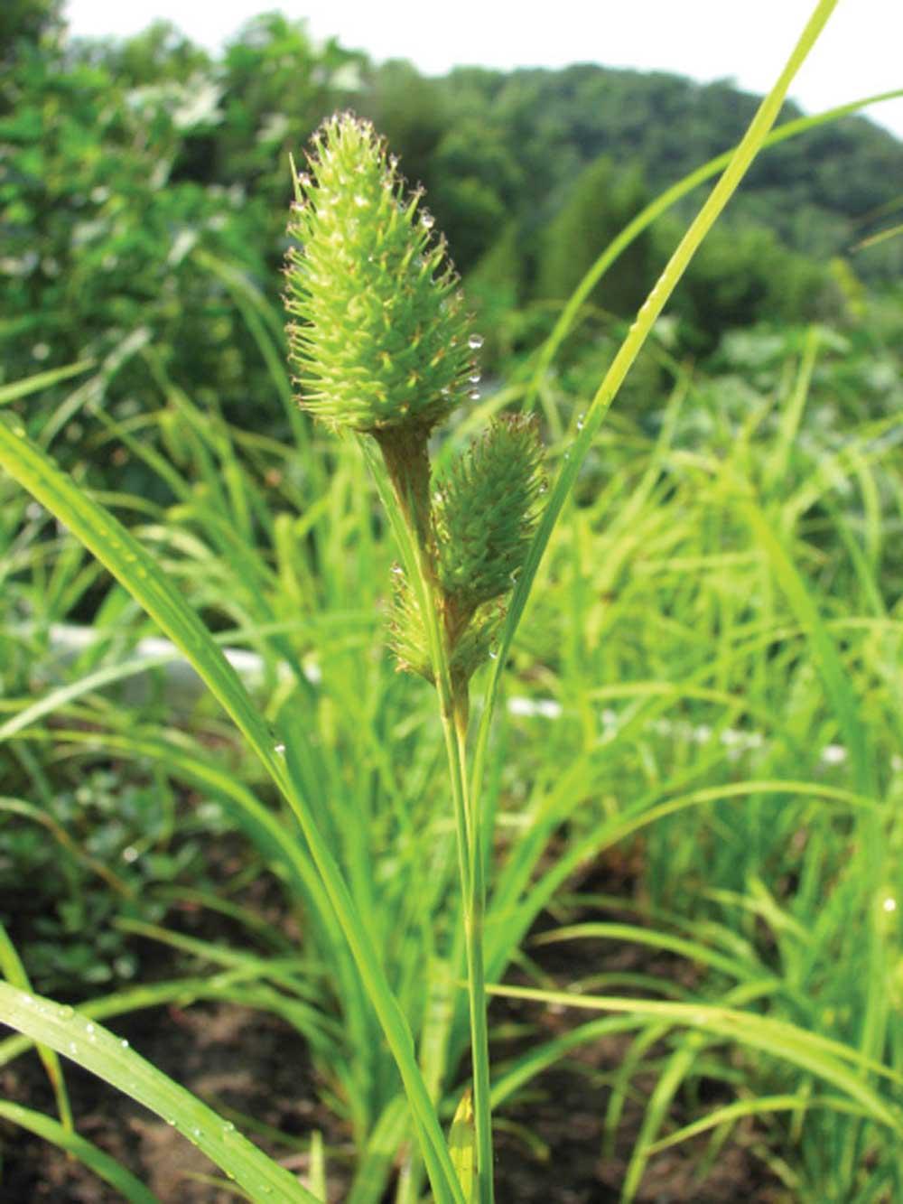 Carex hystericina