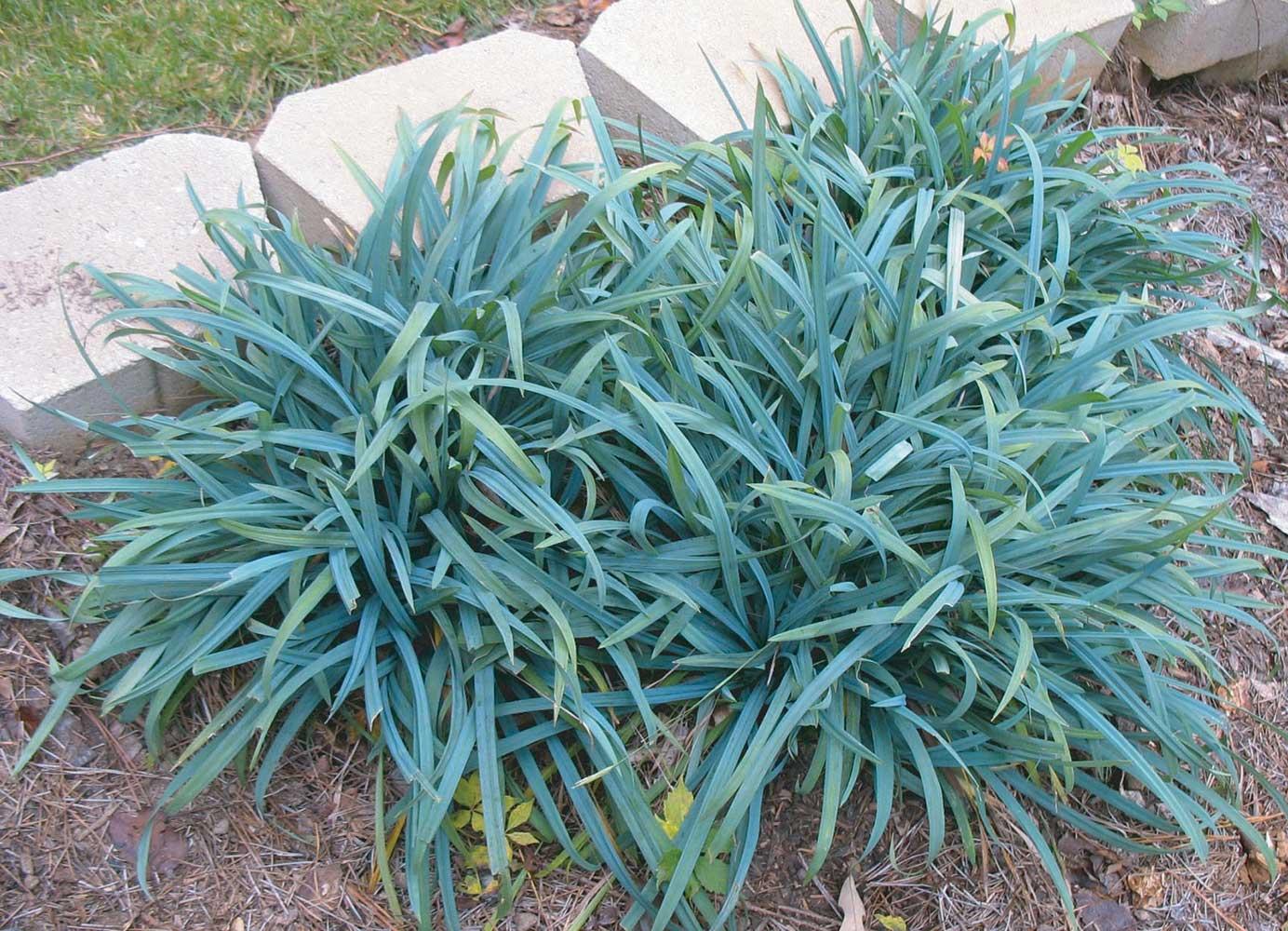 Carex laxiculmus -Hobb-