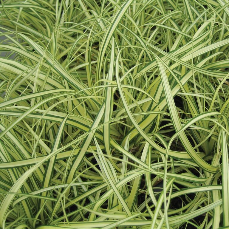 Carex morrowii -Ice Dance-