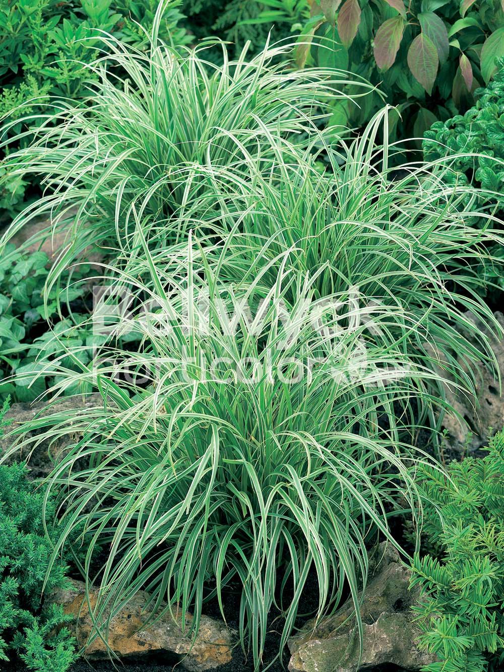 Carex morrowii -Silver Sceptre-