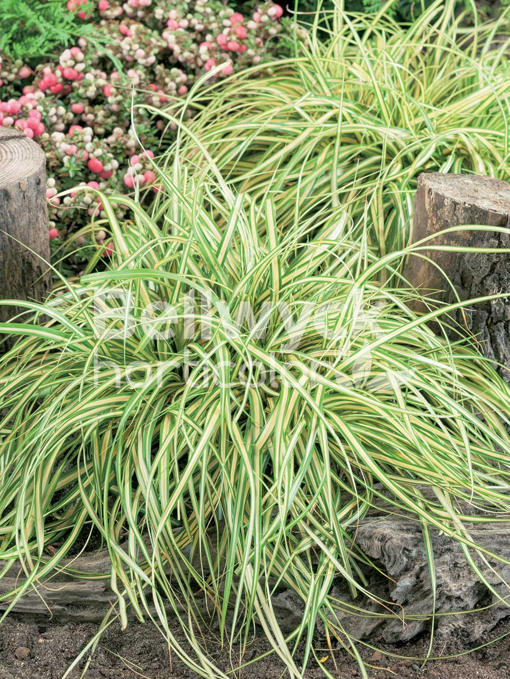 Carex oshimensis -Evergold-