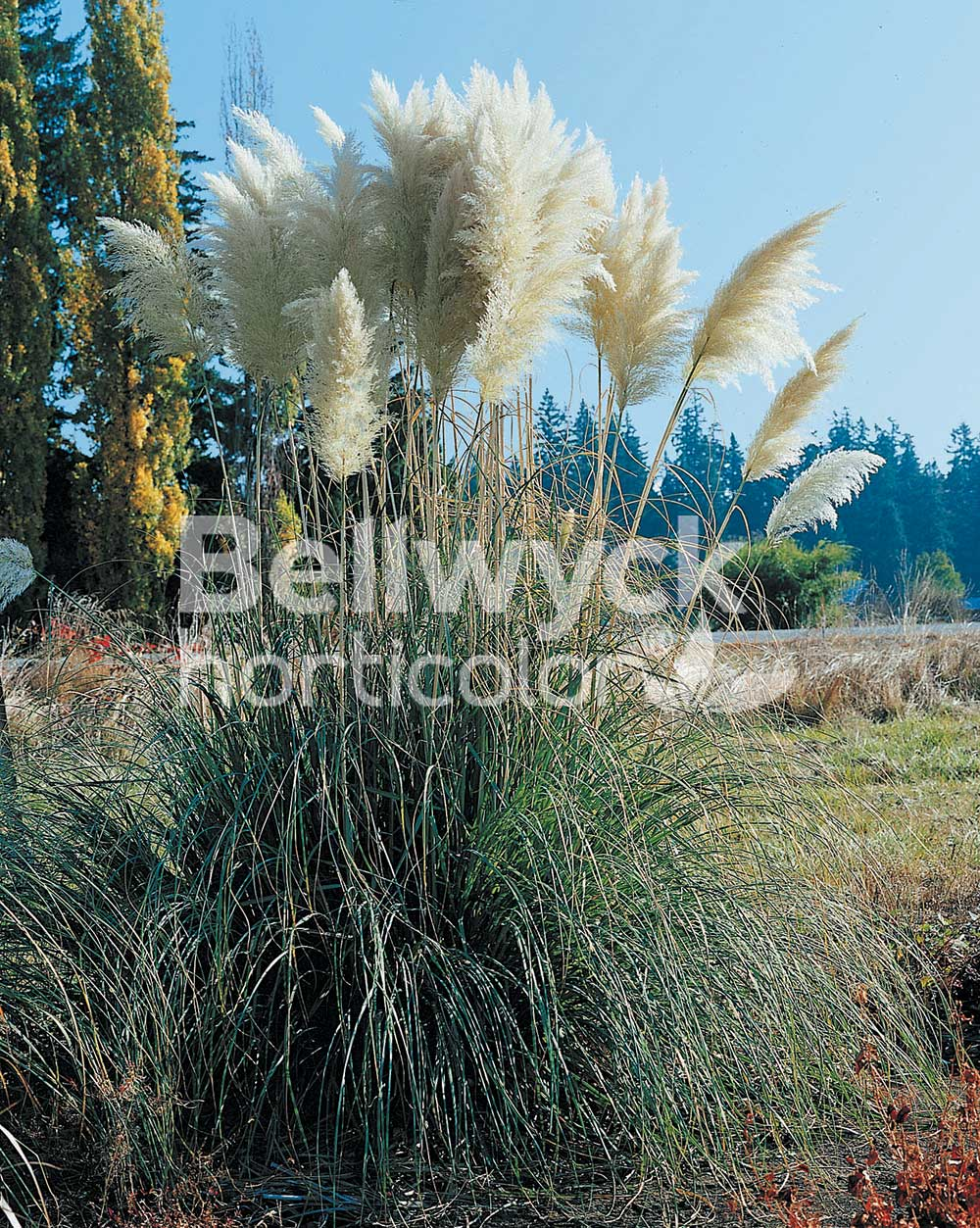 Cortaderia selloana