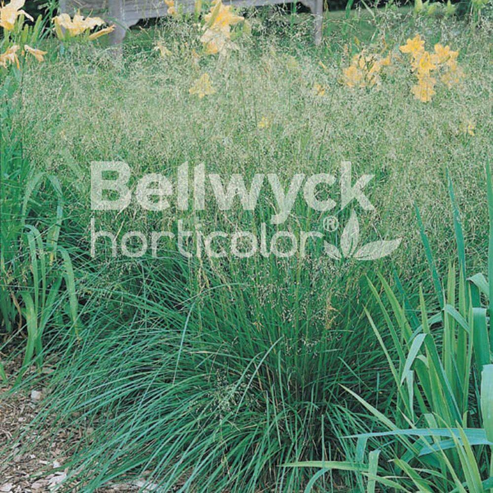 Deschampsia cespitosa -Bronzeschleier-