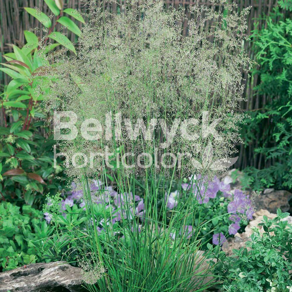 Deschampsia cespitosa -Goldtau-