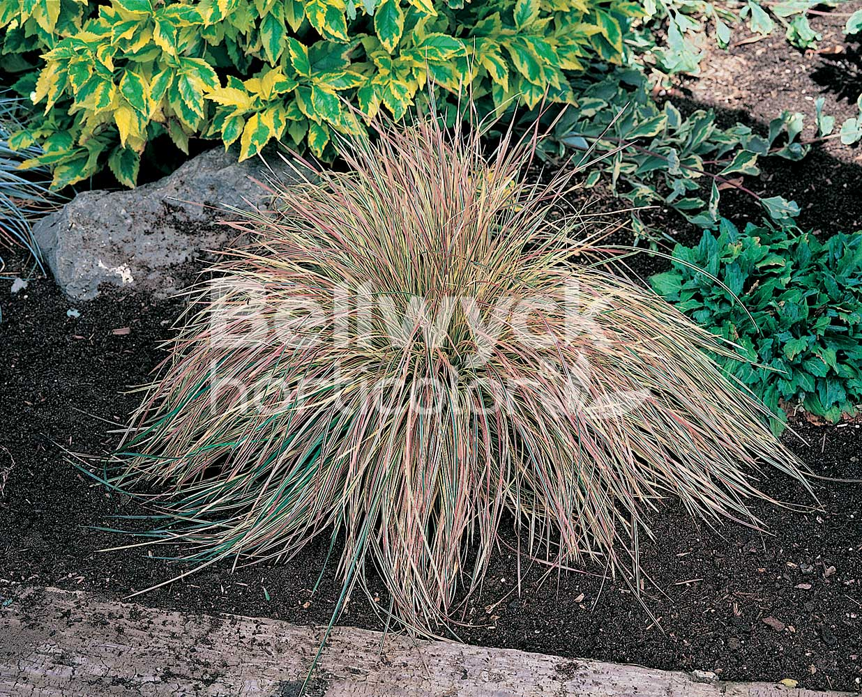 Deschampsia cespitosa -Northern Lights-
