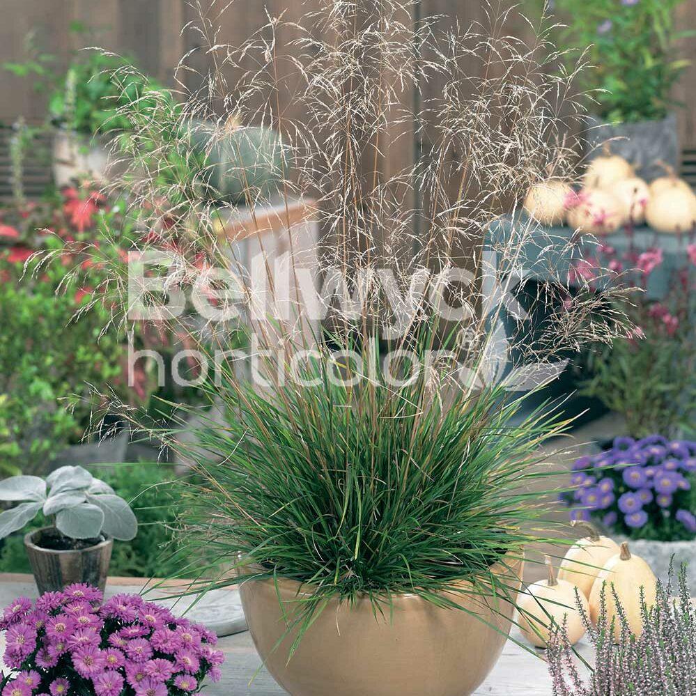 Deschampsia cespitosa -Pixie Fountain-