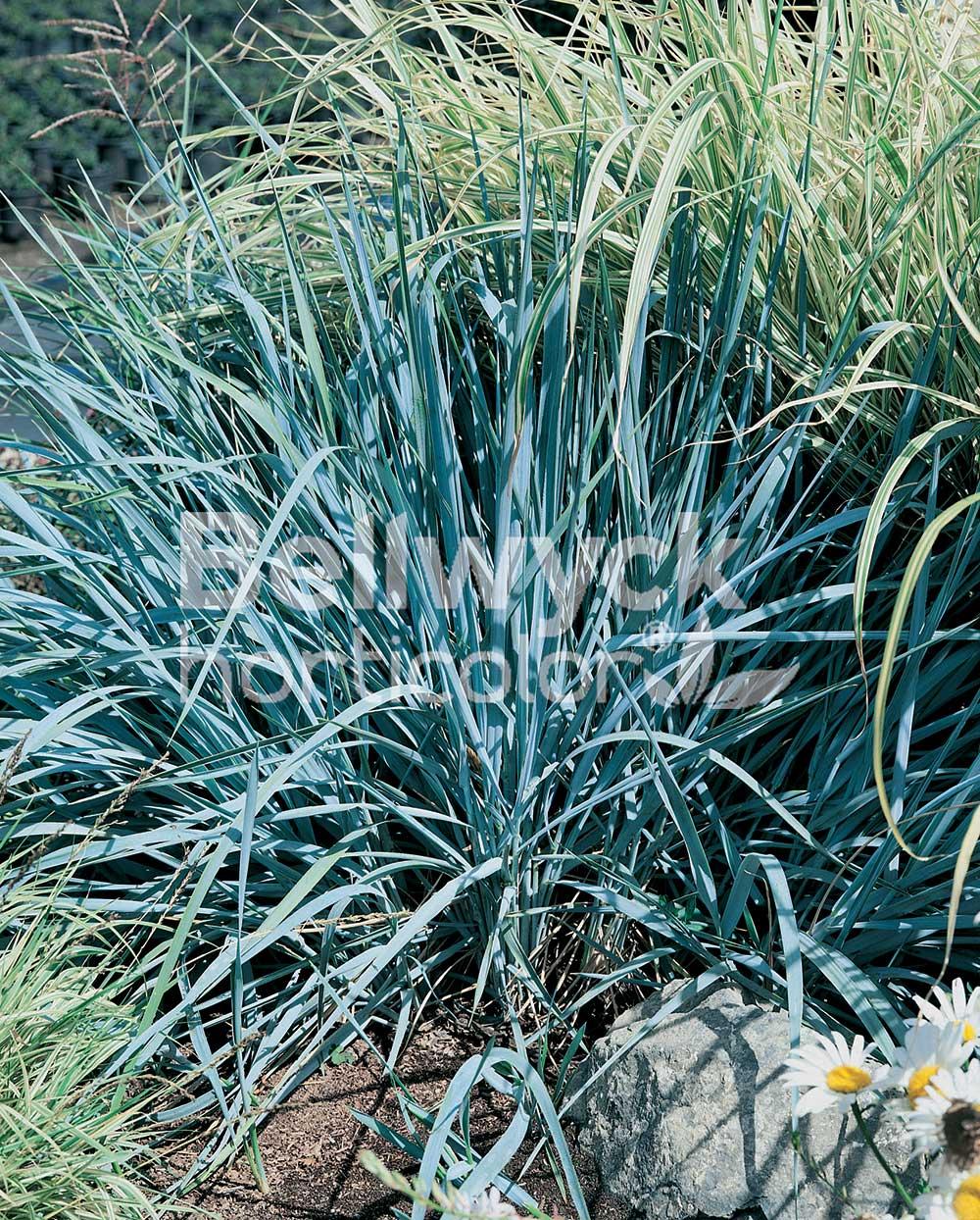 Elymus arenarius -Blue Dune- (Leymus)