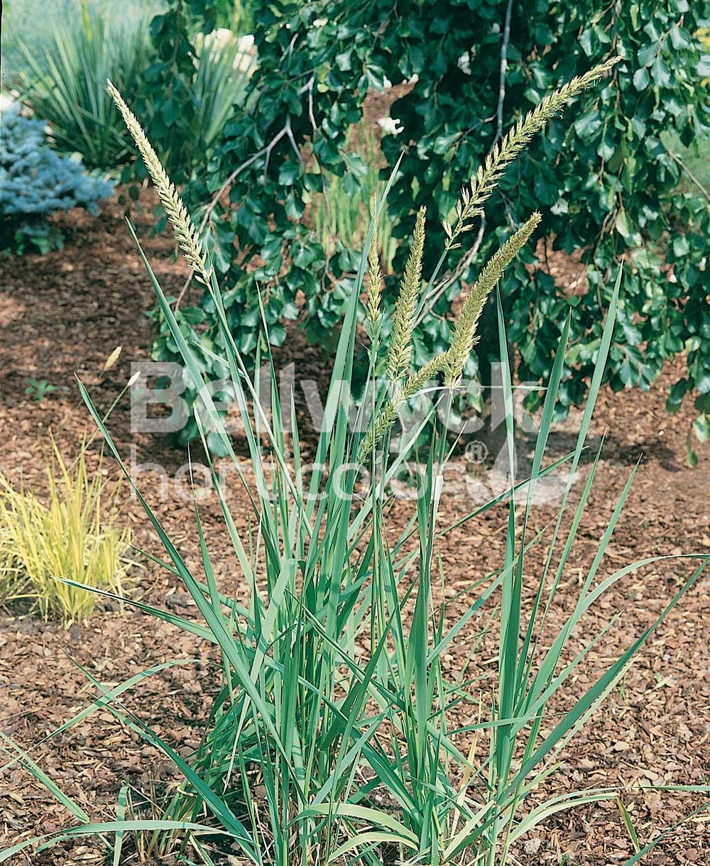 Elymus arenarius (Leymus)