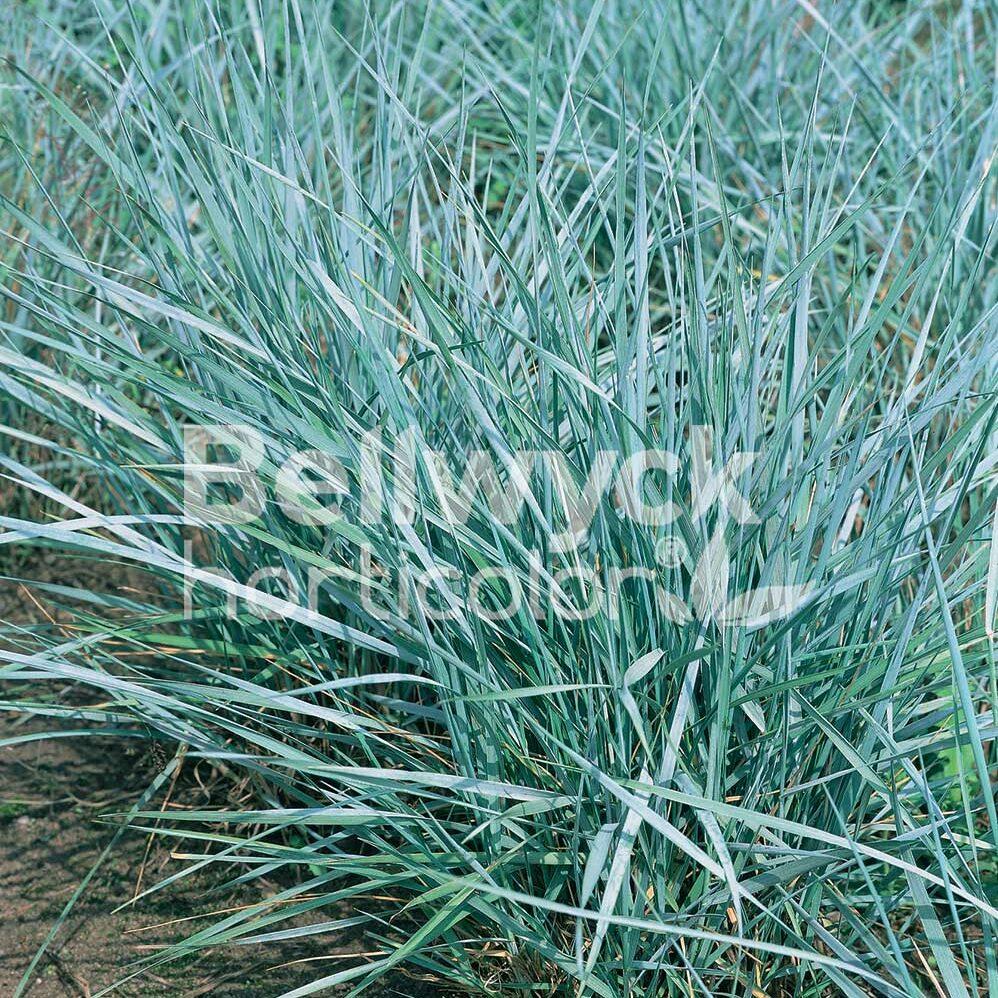 Elymus canadensis -Icy Blue-