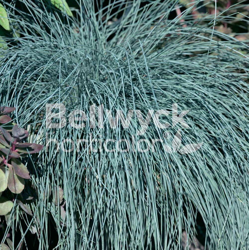 Festuca glauca -Beyond Blue-