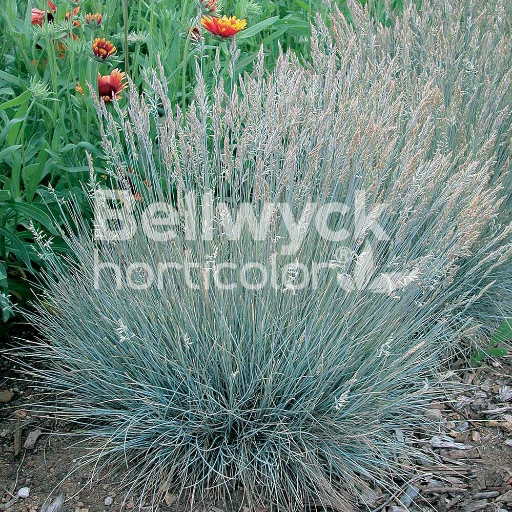 Festuca glauca -Boulder Blue-