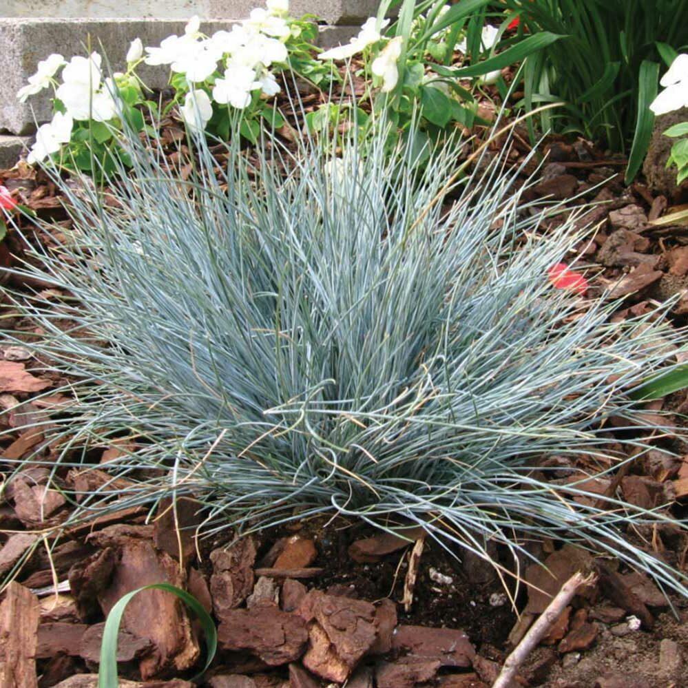 Festuca glauca -Pepindale Blue-