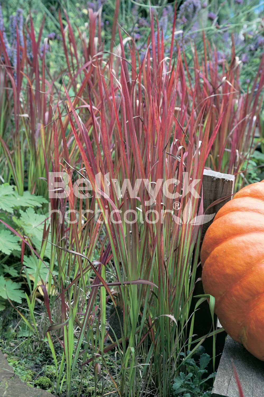 Imperata cylindrica -Red Baron-
