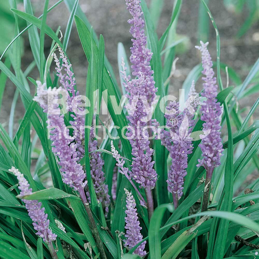 Liriope muscari -Big Blue-