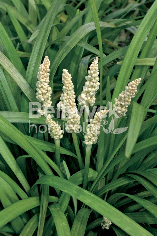 Liriope muscari -Monroe White-