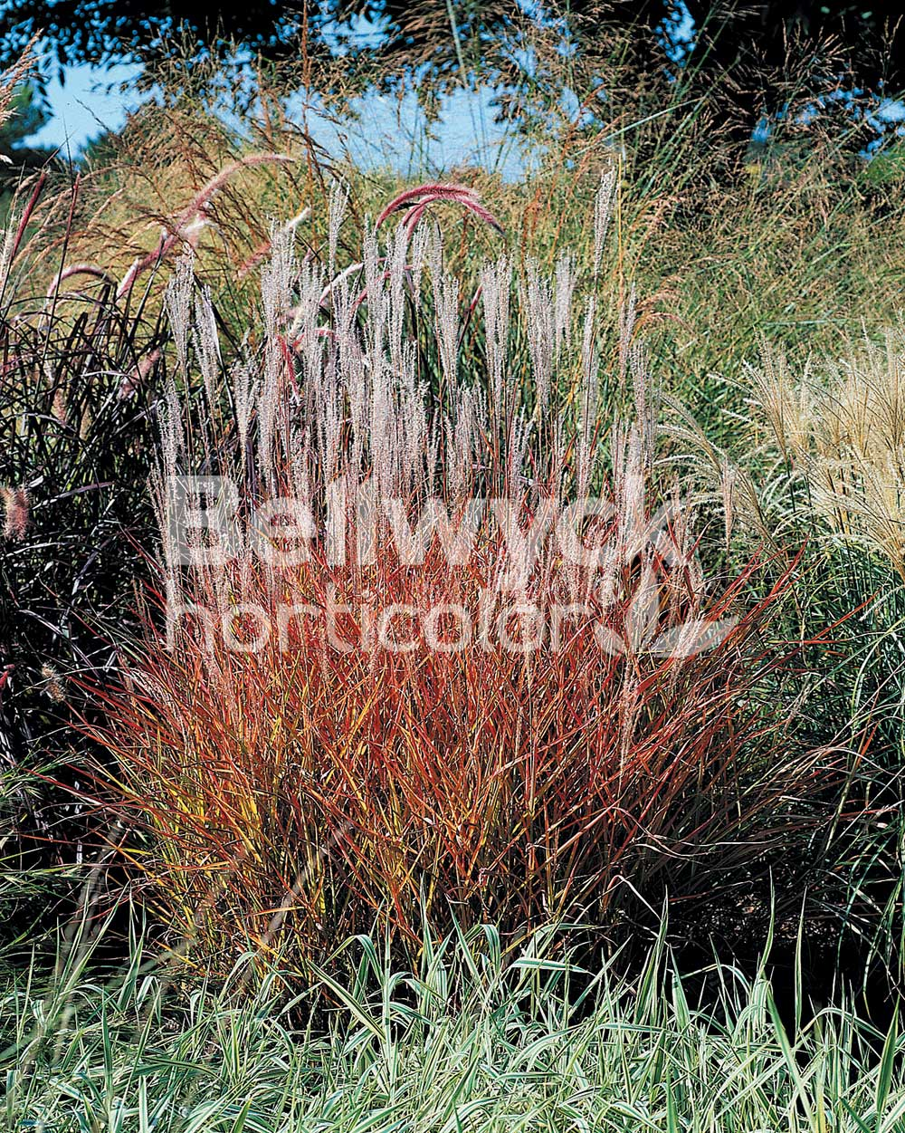 Miscanthus purpurascens