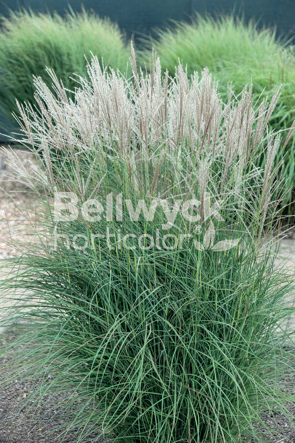Miscanthus sinensis -Autumn Light-