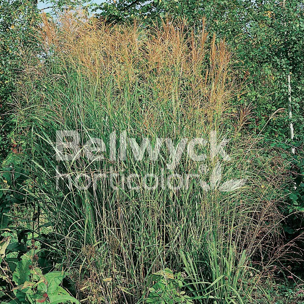 Miscanthus sinensis -Berlin-