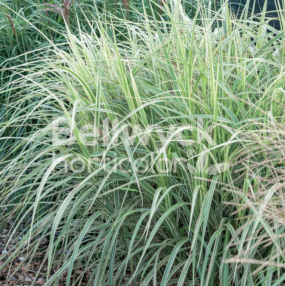 Miscanthus sinensis -Dixieland-
