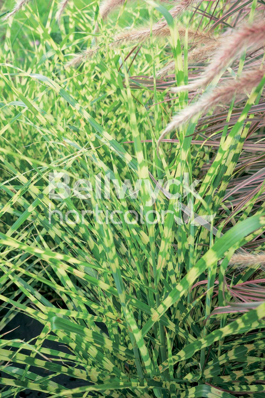 Miscanthus sinensis -Gold Bar-