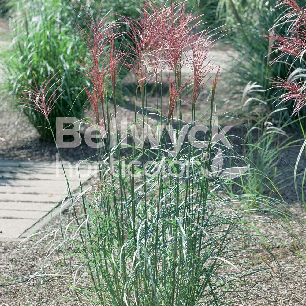 Miscanthus sinensis -Rotsilber-