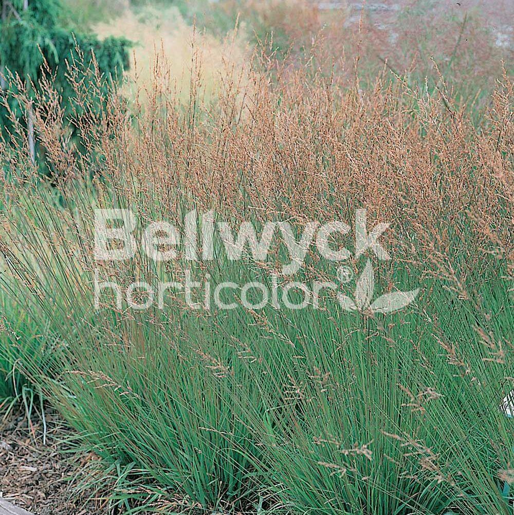 Molinia caerulea -Moorhexe-