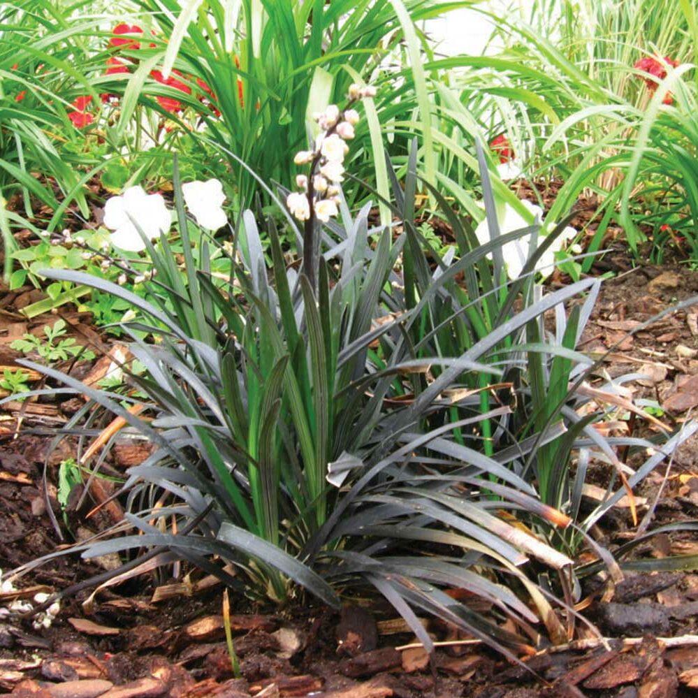 Ophiopogon planiscapus -Nigrescens-