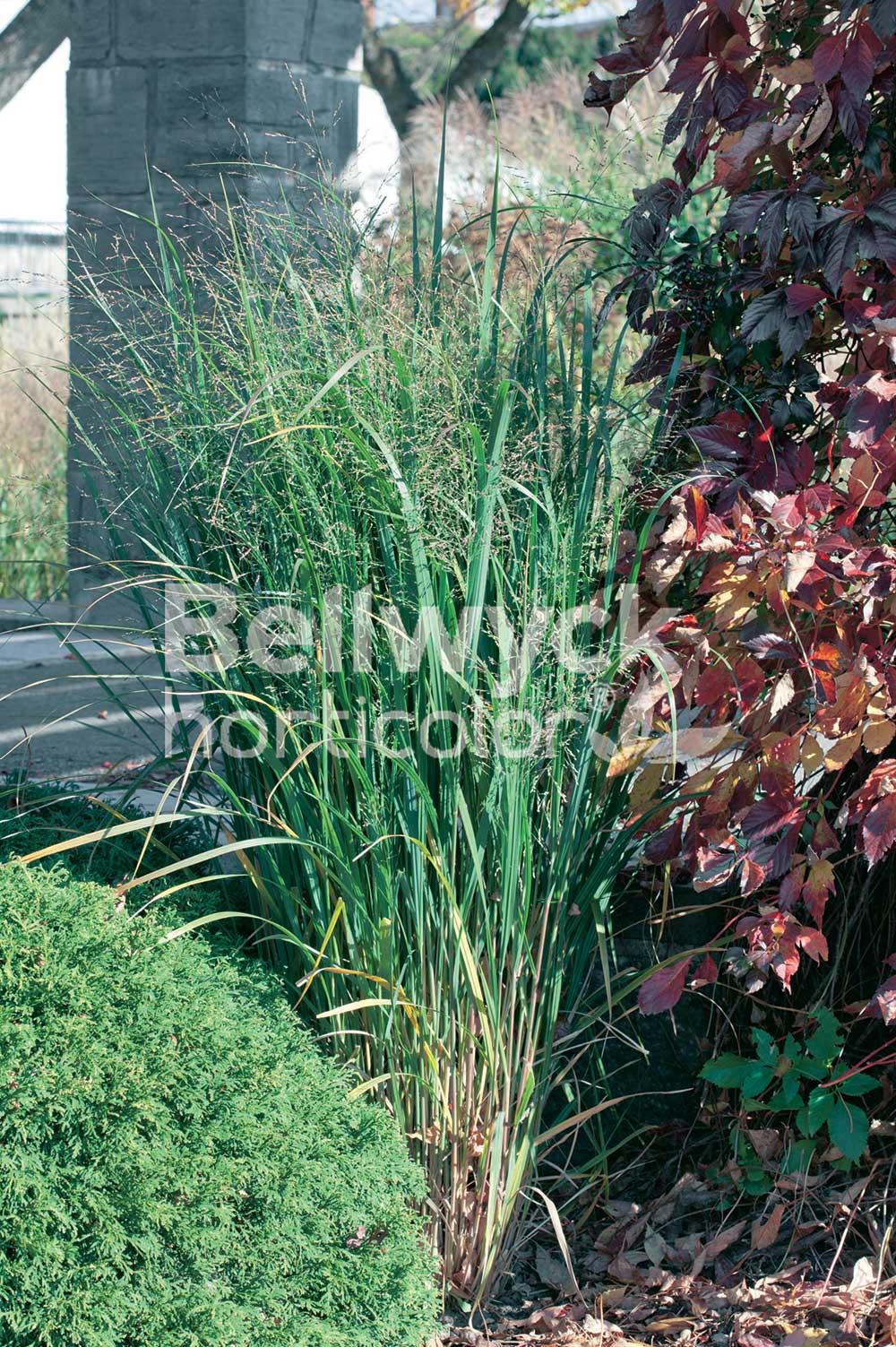 Panicum virgatum -Northwind-