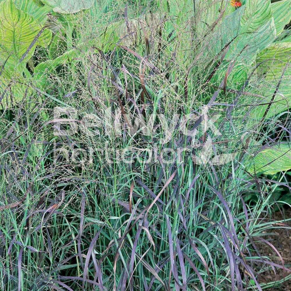Panicum virgatum -Ruby Ribbons-