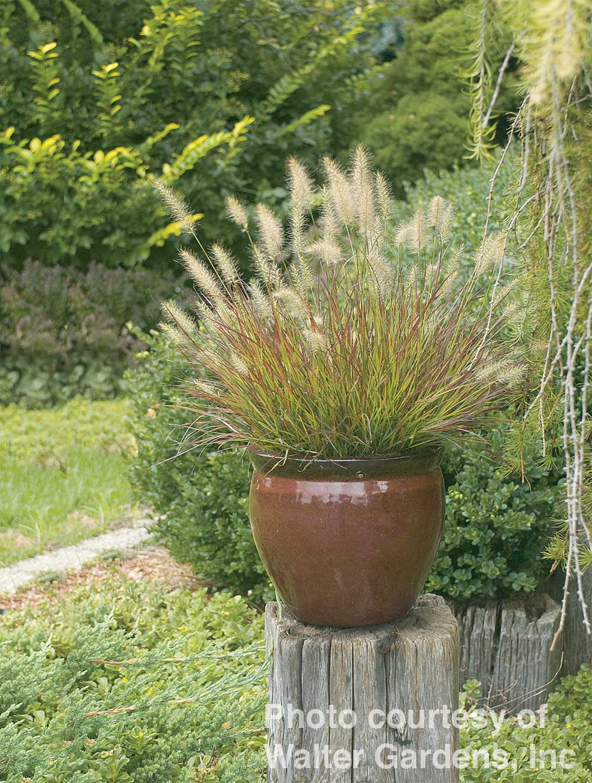 Pennisetum alopecuroides -Burgundy Bunny-