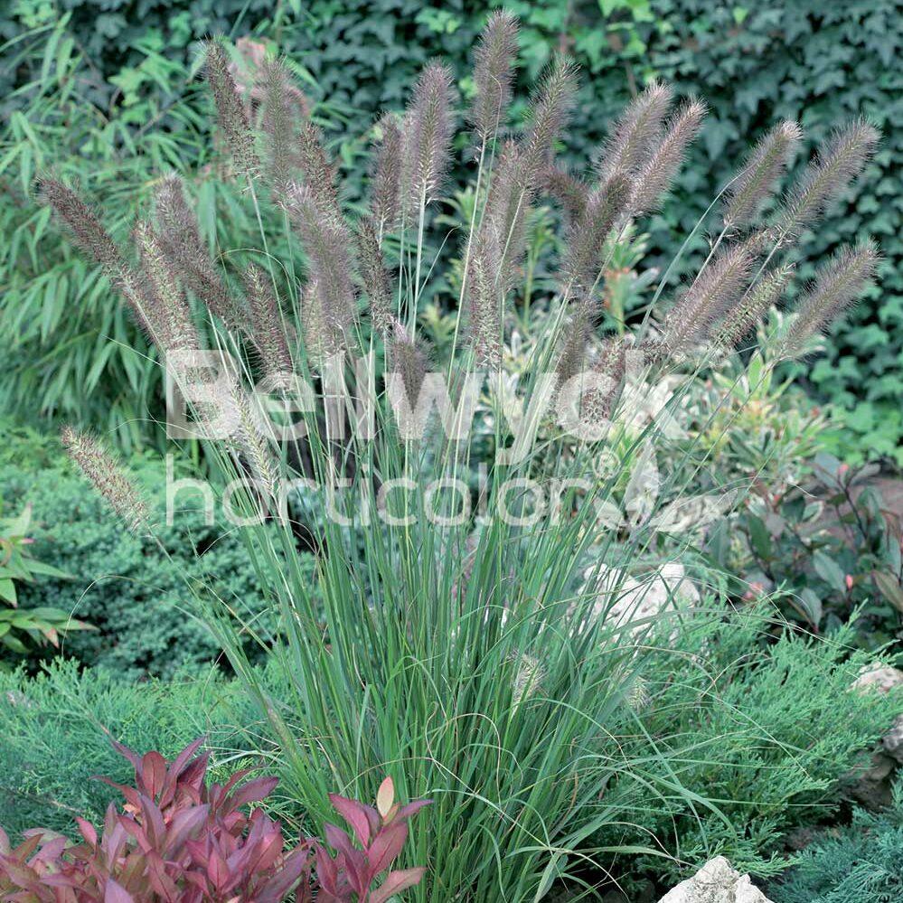 Pennisetum alopecuroides -Cassian-