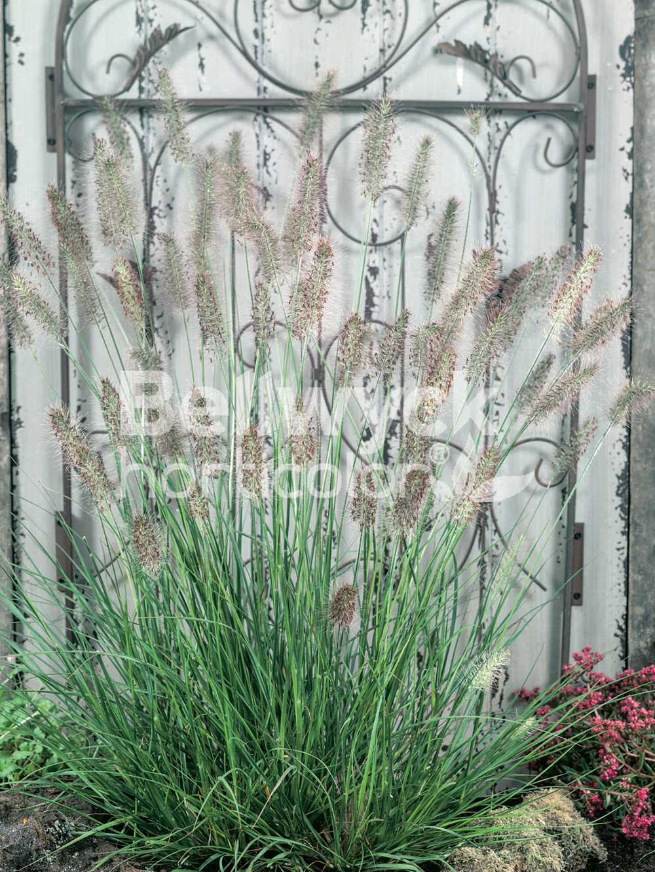 Pennisetum alopecuroides -Hameln-