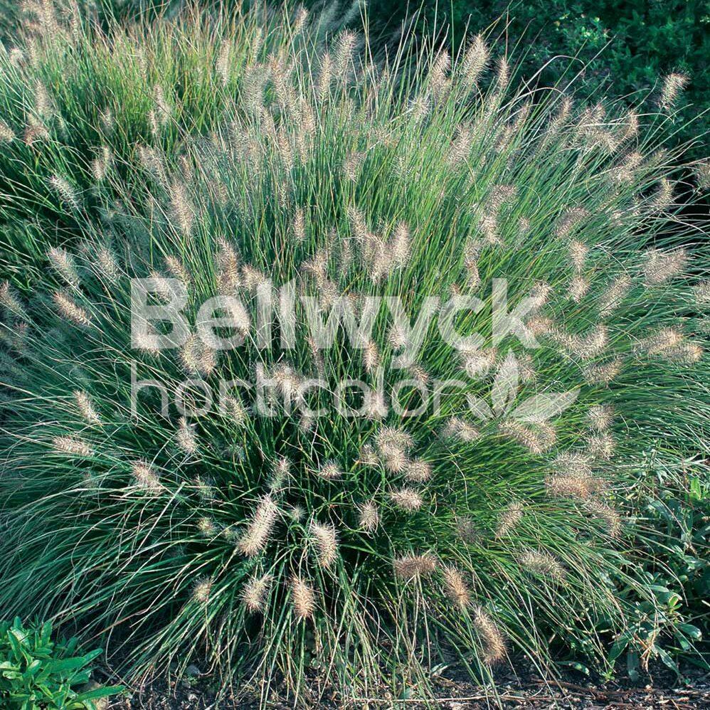Pennisetum alopecuroides -Little Bunny-