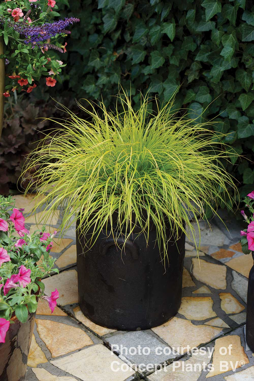 Pennisetum alopecuroides -Lumen Gold-