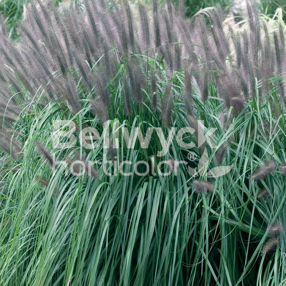 Pennisetum alopecuroides -Moudry-