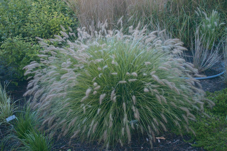 Pennisetum alopecuroides -Piglet-