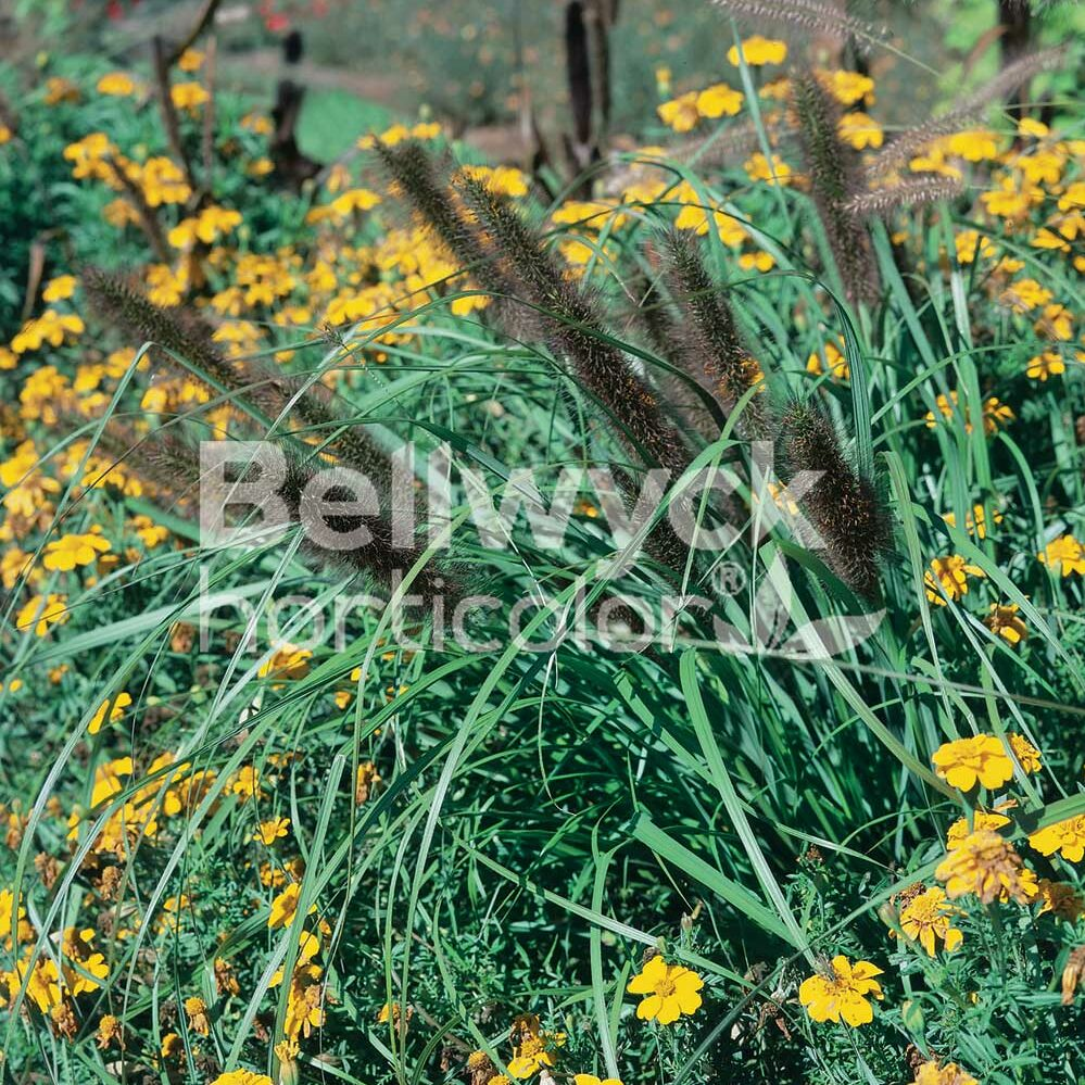 Pennisetum alopecuroides -Red Head-